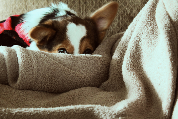 Dog with Blanket